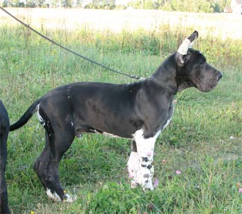 Great Dane Kair Del Akhtamar